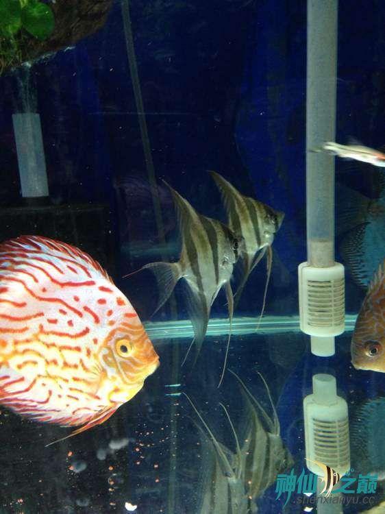 这神仙不错 北京观赏鱼 北京龙鱼第3张