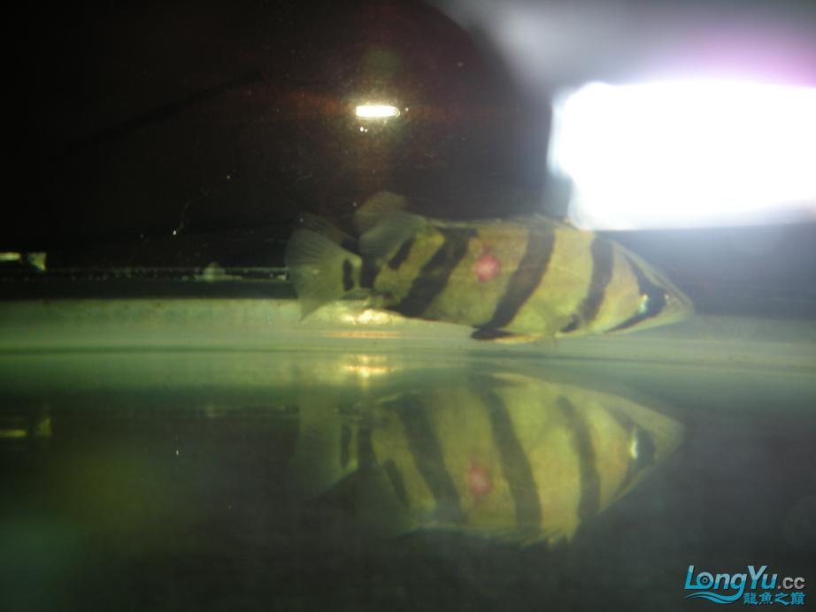 北京朱巴利鱼虎鱼病了请各位同学帮忙看看 北京观赏鱼 北京龙鱼第1张