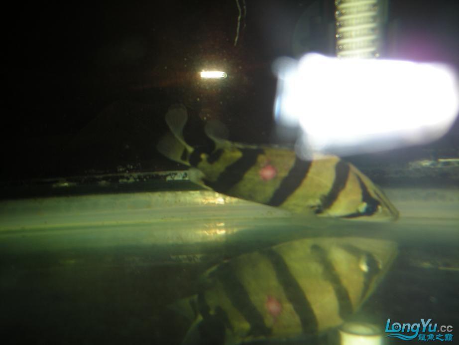 北京朱巴利鱼虎鱼病了请各位同学帮忙看看 北京观赏鱼 北京龙鱼第2张