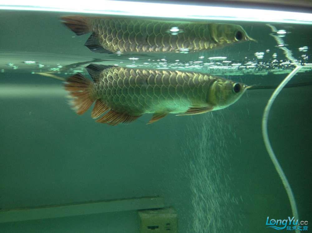 帮忙看看小弟今天刚请的龙鱼身上伤了 北京龙鱼论坛 北京龙鱼第3张