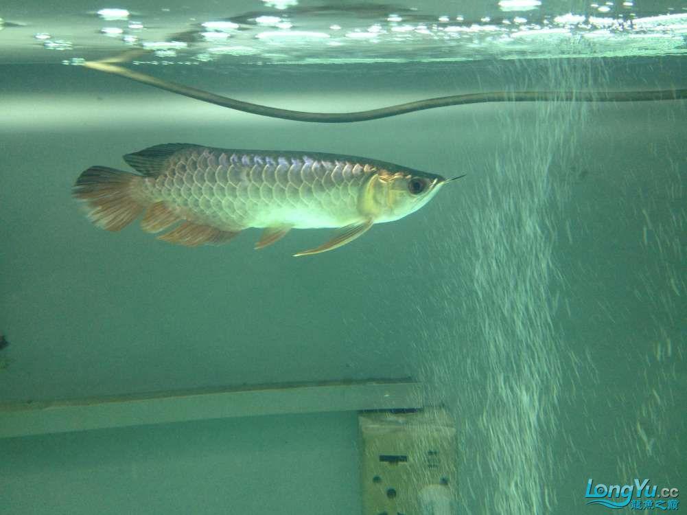 帮忙看看小弟今天刚请的龙鱼身上伤了 北京龙鱼论坛 北京龙鱼第1张
