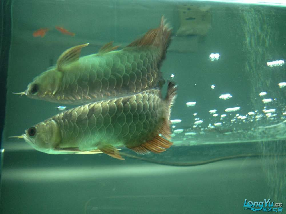 帮忙看看小弟今天刚请的龙鱼身上伤了 北京龙鱼论坛 北京龙鱼第4张