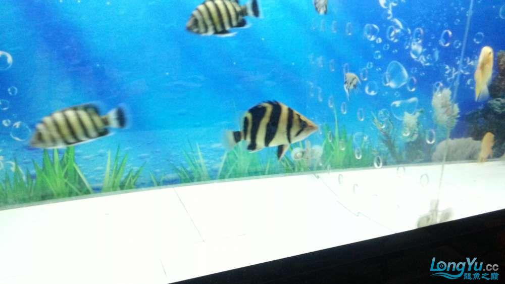 看虎状态挺好 忍不住又拿起了手机 北京观赏鱼 北京龙鱼第2张