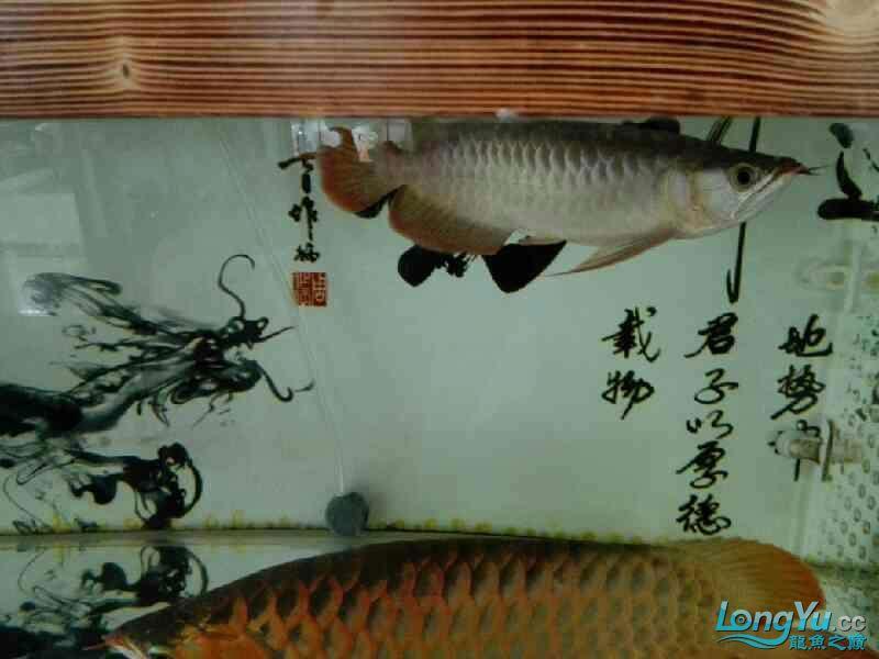 看这小龙怎么样 北京龙鱼论坛 北京龙鱼第1张