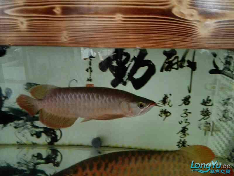 看这小龙怎么样 北京龙鱼论坛 北京龙鱼第2张