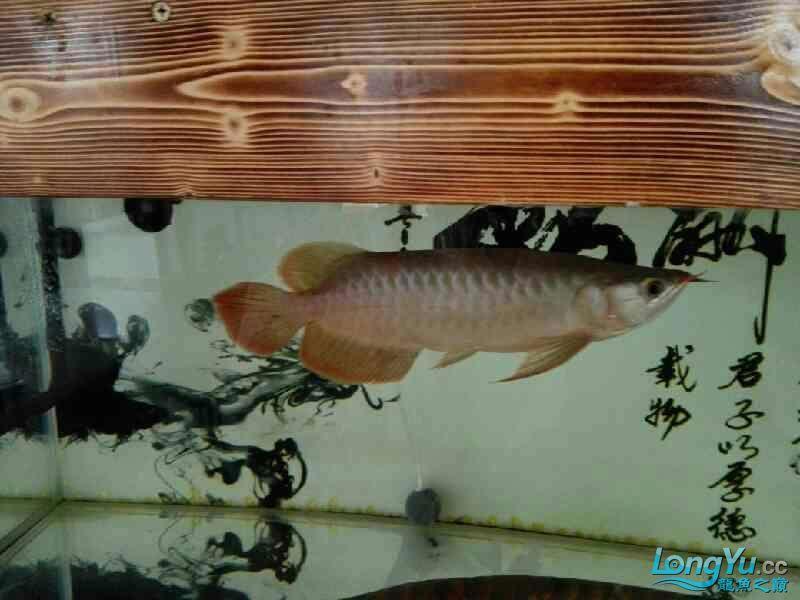 看这小龙怎么样 北京龙鱼论坛 北京龙鱼第3张