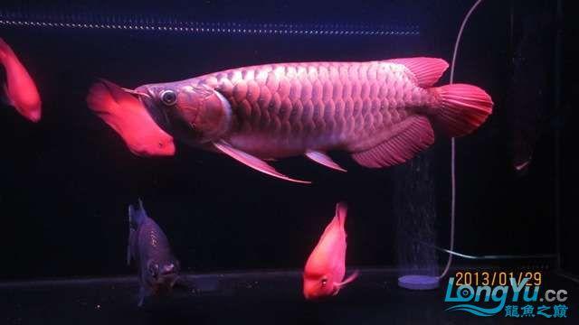 看看咱家的大战车 北京龙鱼论坛 北京龙鱼第2张