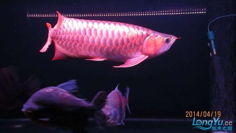 看看咱家的大战车 北京龙鱼论坛 北京龙鱼第4张
