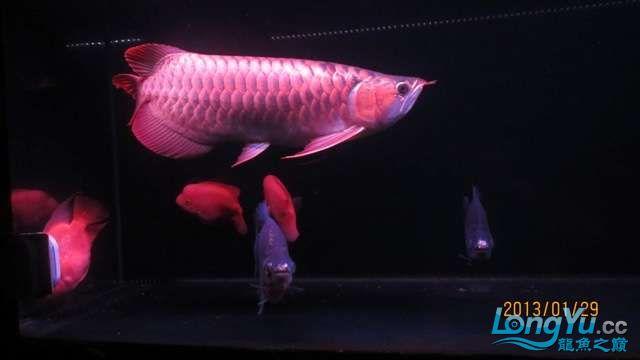 看看咱家的大战车 北京龙鱼论坛 北京龙鱼第8张