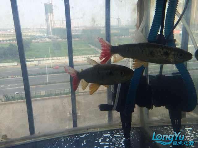个位给看看是什么鱼 北京观赏鱼 北京龙鱼第2张