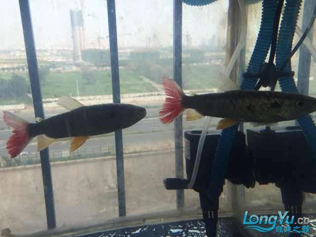 个位给看看是什么鱼 北京观赏鱼 北京龙鱼第1张