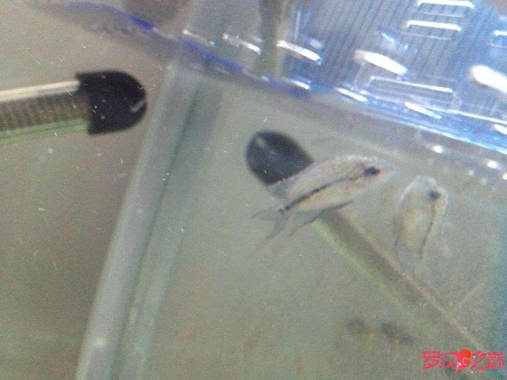 鱼苗白点病图例没见过的可以进来看看 北京龙鱼论坛 北京龙鱼第1张