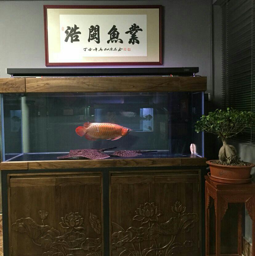 牛气的缸山东鱼友圈 北京龙鱼论坛 北京龙鱼第2张