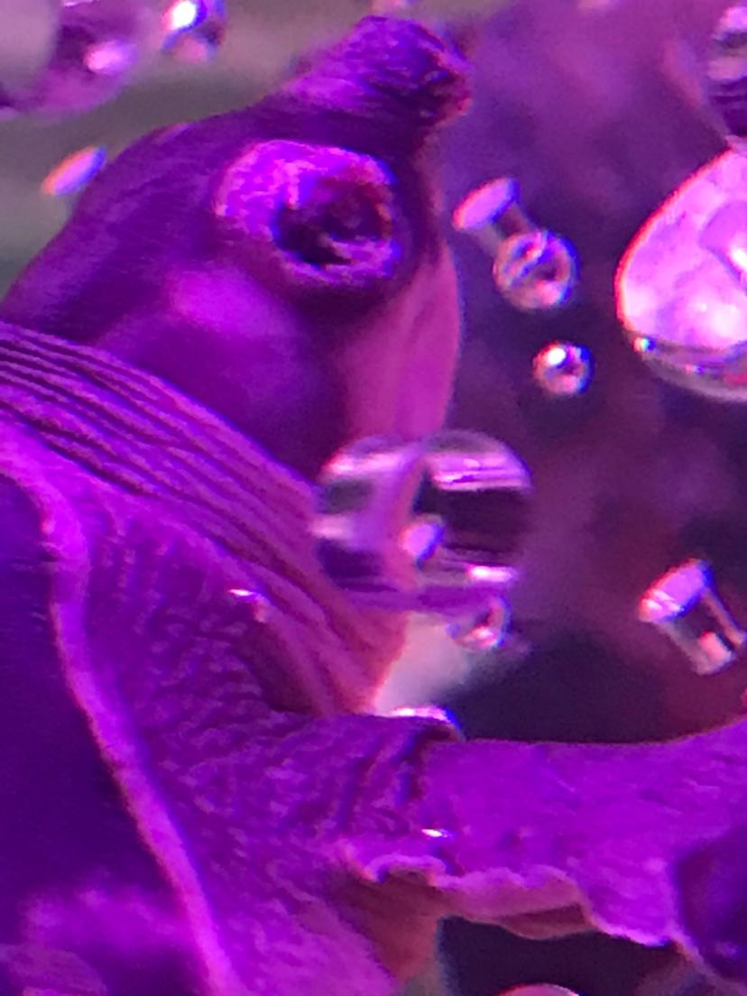 猪鼻龟北京大花恐龙价格眼睛病了 北京观赏鱼 北京龙鱼第1张