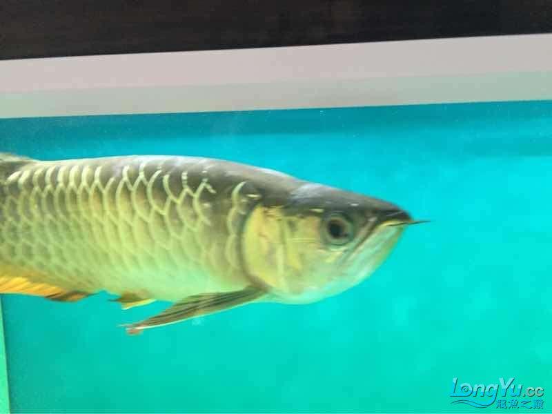 北京皇冠黑白魟鱼添加配鱼粗线后龙似乎有点问题请高手指教 北京观赏鱼 北京龙鱼第3张