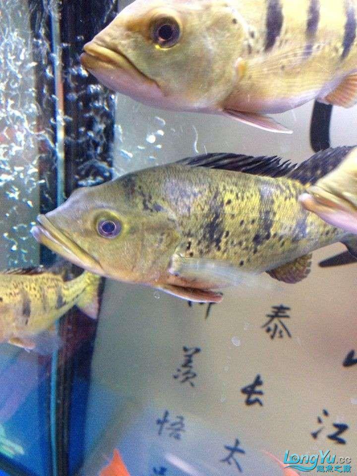 坐等求救 求救 巴西亚的问题 身上有白色的 北京龙鱼论坛 北京龙鱼第3张