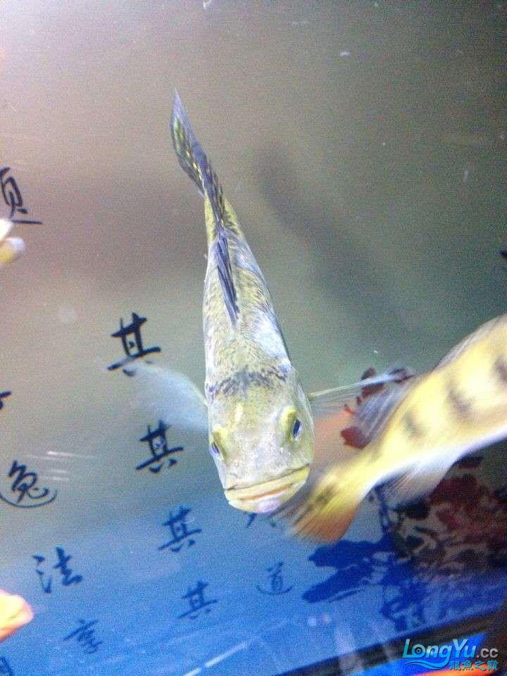 坐等求救 求救 巴西亚的问题 身上有白色的 北京龙鱼论坛 北京龙鱼第5张