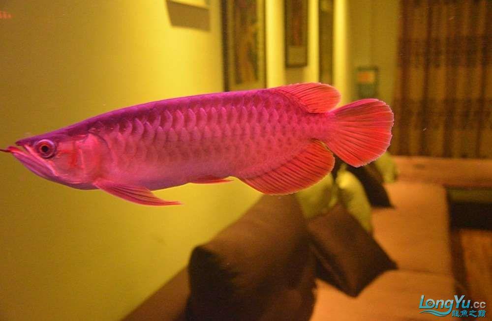 小龙养了半年了比刚到家时有了很多的变化继续期待中 北京龙鱼论坛 北京龙鱼第3张