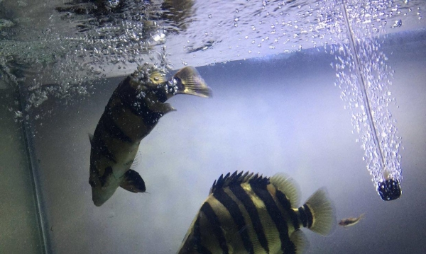 小龙养了半年了比刚到家时有了很多的变化继续期待中 北京龙鱼论坛 北京龙鱼第5张