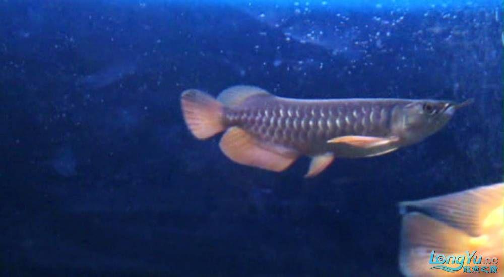 小寶石蝕鱗恢複程度98%北京哪里有水族馆 北京观赏鱼 北京龙鱼第2张