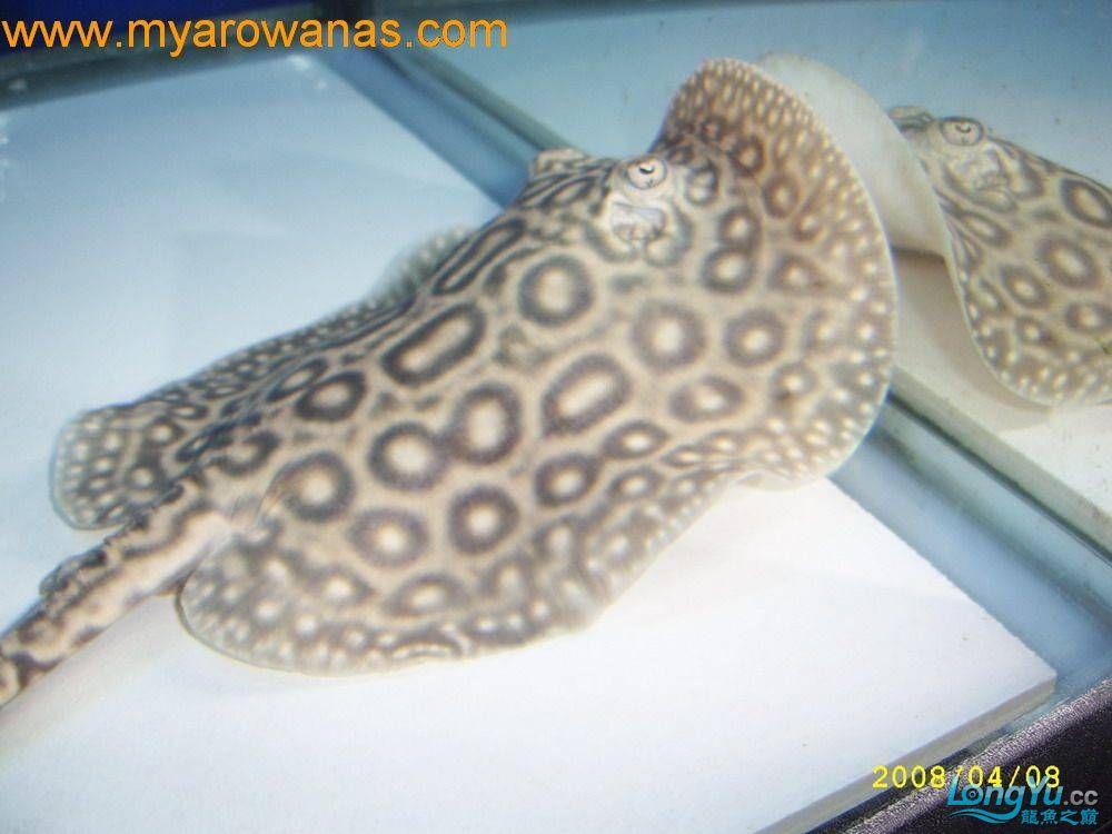 粗线白纹小黑帝的挑选添加成鱼对比图 北京龙鱼论坛 北京龙鱼第3张