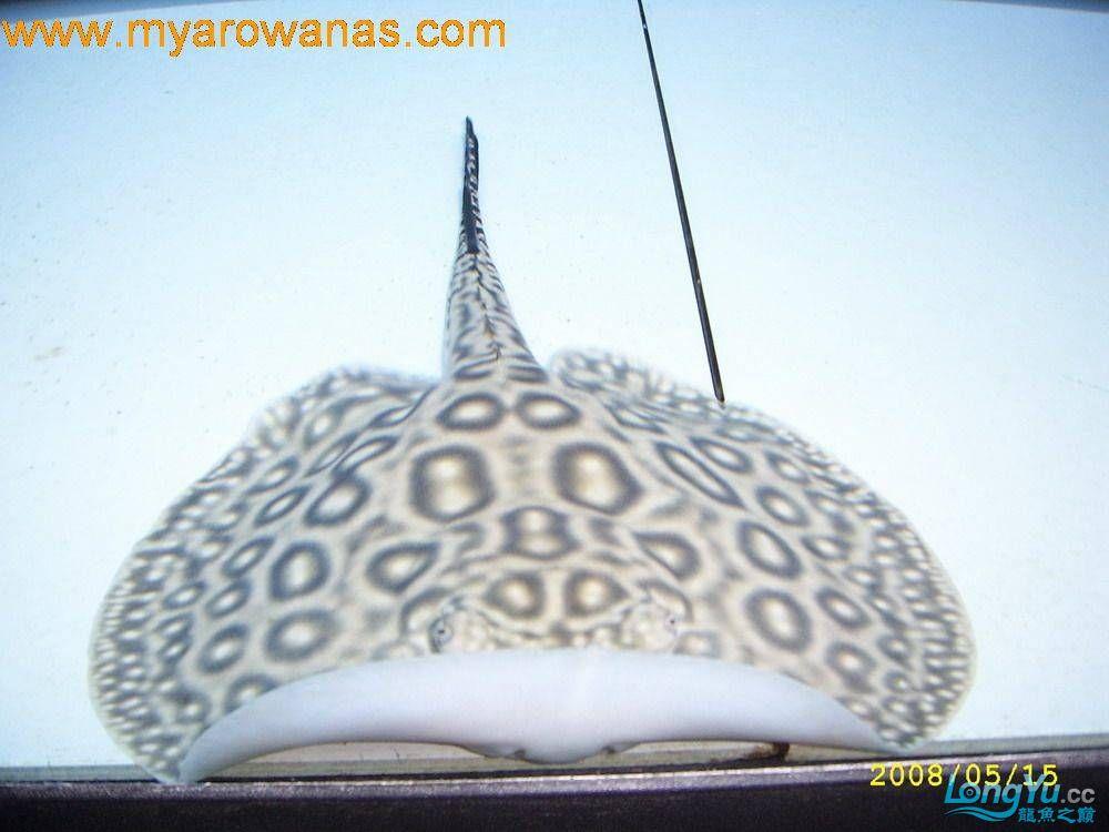 粗线白纹小黑帝的挑选添加成鱼对比图 北京龙鱼论坛 北京龙鱼第7张