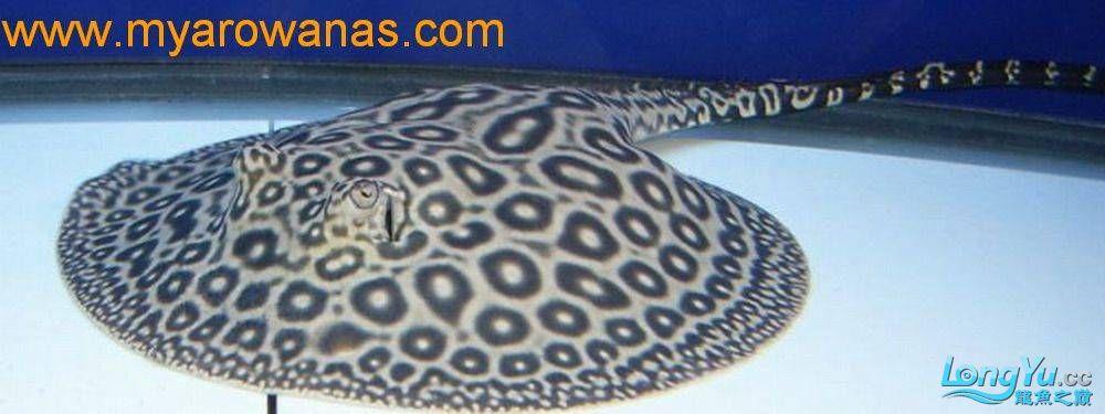 粗线白纹小黑帝的挑选添加成鱼对比图 北京龙鱼论坛 北京龙鱼第8张