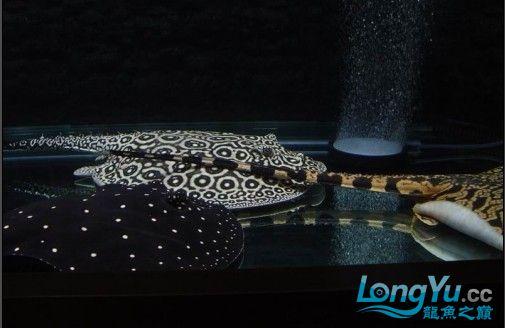 粗线白纹小黑帝的挑选添加成鱼对比图 北京龙鱼论坛 北京龙鱼第12张