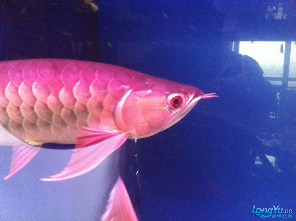 我的龙鱼混养 北京龙鱼论坛 北京龙鱼第2张