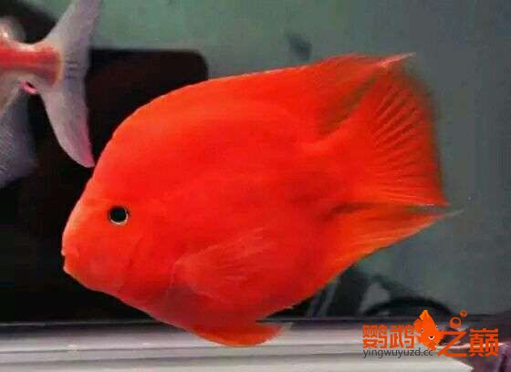 闲来发发我的小鹦鹉 北京观赏鱼 北京龙鱼第1张