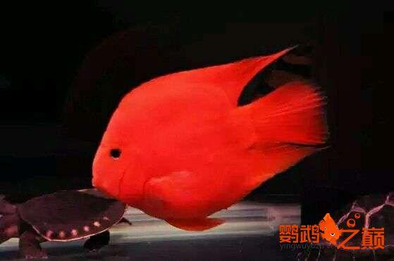 闲来发发我的小鹦鹉 北京观赏鱼 北京龙鱼第2张