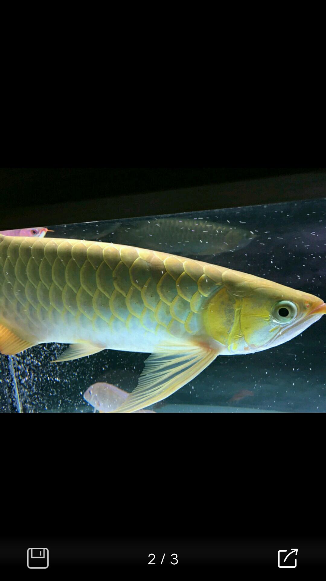 大家指点一下这是一条什么品种的龙鱼 北京龙鱼论坛 北京龙鱼第1张