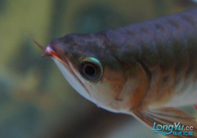 刚到家1天的红龙感觉头部有些不对劲请专家来帮忙看看 北京观赏鱼 北京龙鱼第2张