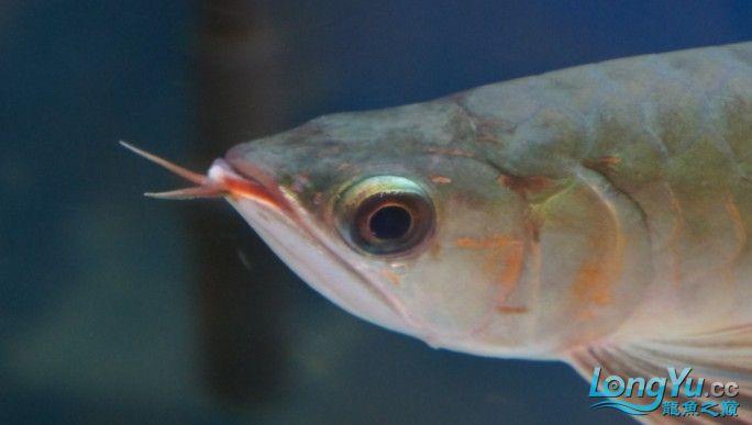 刚到家1天的红龙感觉头部有些不对劲请专家来帮忙看看 北京观赏鱼 北京龙鱼第3张