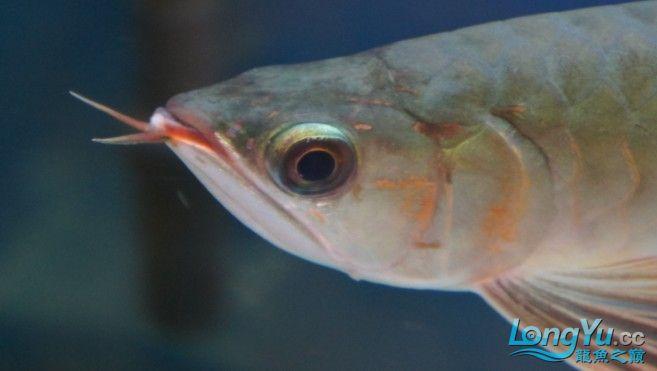 刚到家1天的红龙感觉头部有些不对劲请专家来帮忙看看 北京观赏鱼 北京龙鱼第1张