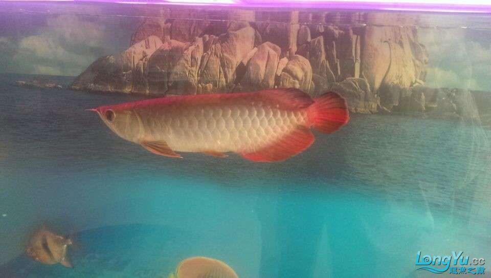 新买的龙鱼很是喜欢各位亲们帮忙鉴定下什么品种值多少钱 北京龙鱼论坛 北京龙鱼第3张