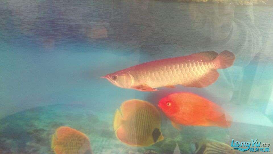 新买的龙鱼很是喜欢各位亲们帮忙鉴定下什么品种值多少钱 北京龙鱼论坛 北京龙鱼第6张