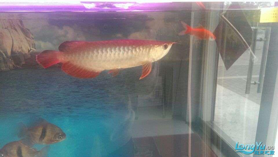 新买的龙鱼很是喜欢各位亲们帮忙鉴定下什么品种值多少钱 北京龙鱼论坛 北京龙鱼第5张