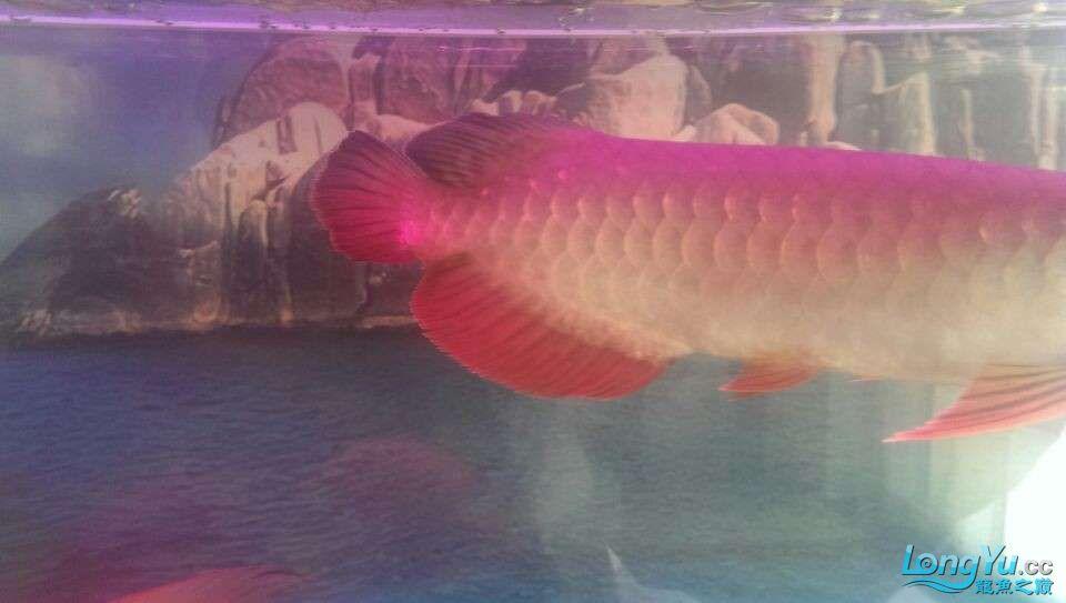 新买的龙鱼很是喜欢各位亲们帮忙鉴定下什么品种值多少钱 北京龙鱼论坛 北京龙鱼第7张