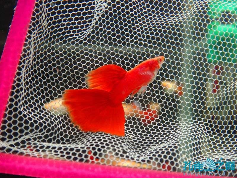 红的发假 北京观赏鱼 北京龙鱼第1张