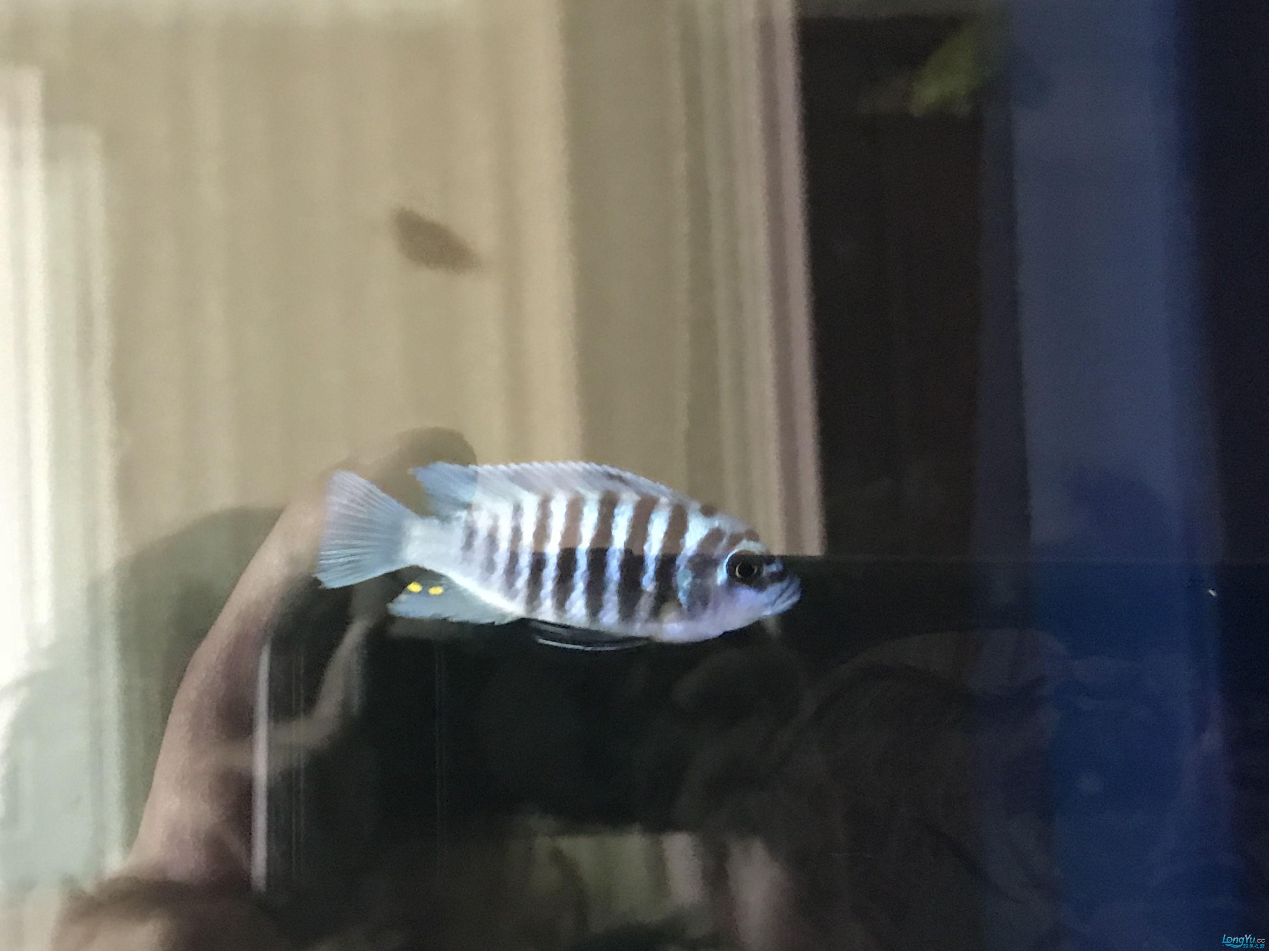 求教三湖慈鲷 北京观赏鱼 北京龙鱼第2张