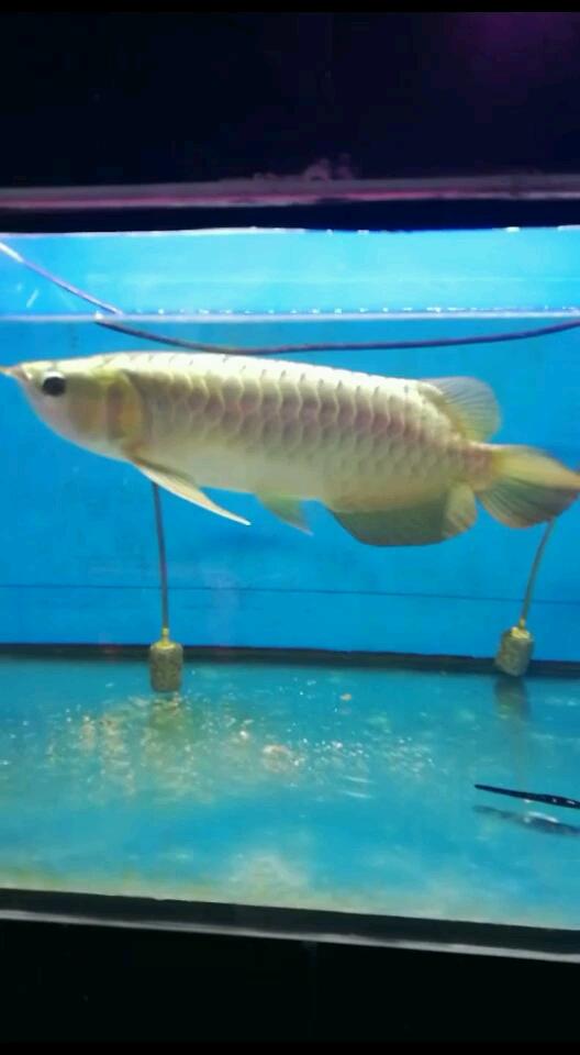 北京泰国观赏鱼市场温州景山花乌市场