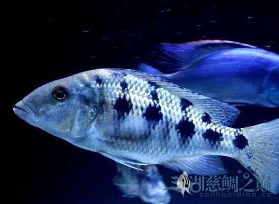 请教高手这是不是雪花豹 北京观赏鱼 北京龙鱼第2张