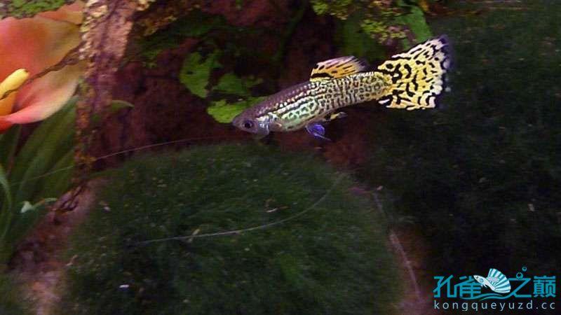 我的铲尾蛇纹孔雀雄鱼 北京观赏鱼 北京龙鱼第1张