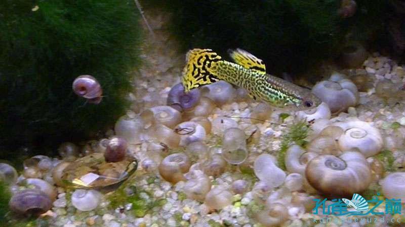 我的铲尾蛇纹孔雀雄鱼 北京观赏鱼 北京龙鱼第2张