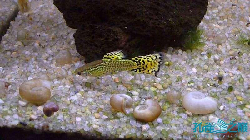 我的铲尾蛇纹孔雀雄鱼 北京观赏鱼 北京龙鱼第6张