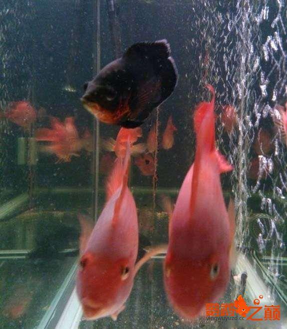 一缸鱼有红有白是为啥? 北京龙鱼论坛 北京龙鱼第1张