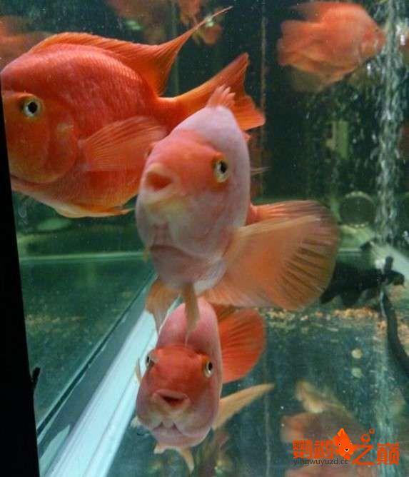 一缸鱼有红有白是为啥? 北京龙鱼论坛 北京龙鱼第3张