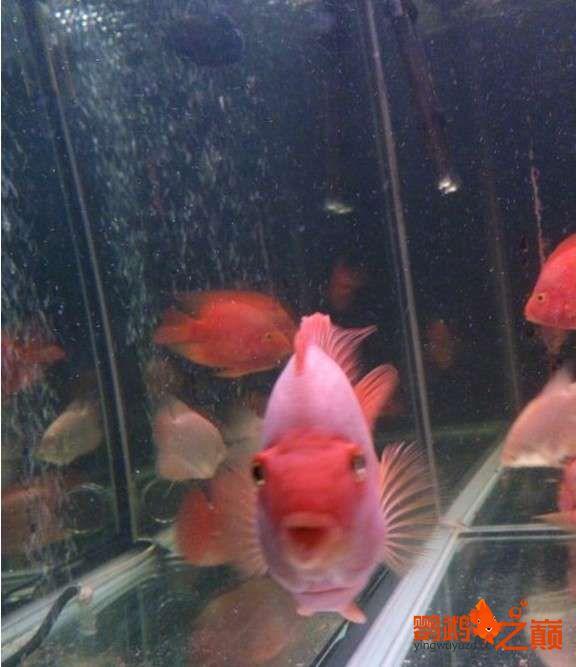 一缸鱼有红有白是为啥? 北京龙鱼论坛 北京龙鱼第2张