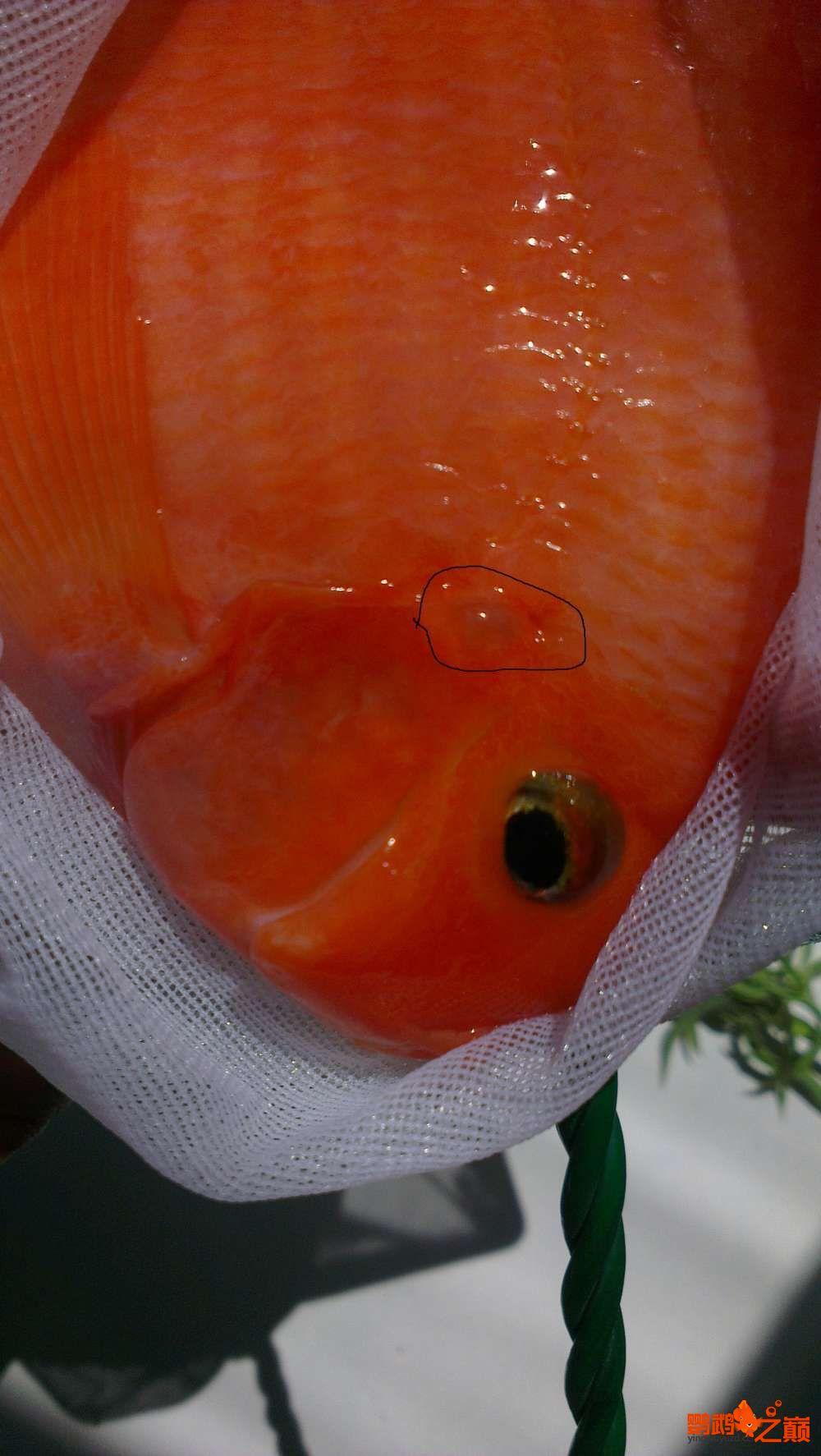 帮看看是头洞病吗? 北京观赏鱼 北京龙鱼第1张